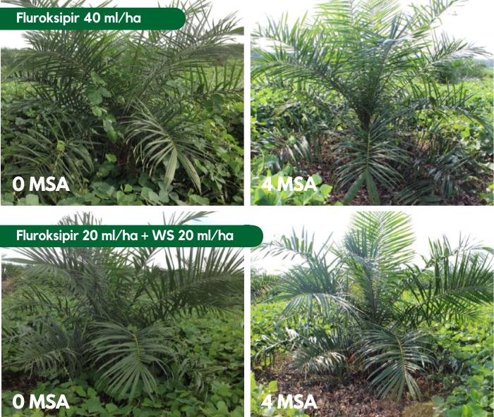 Oil Palm Plant